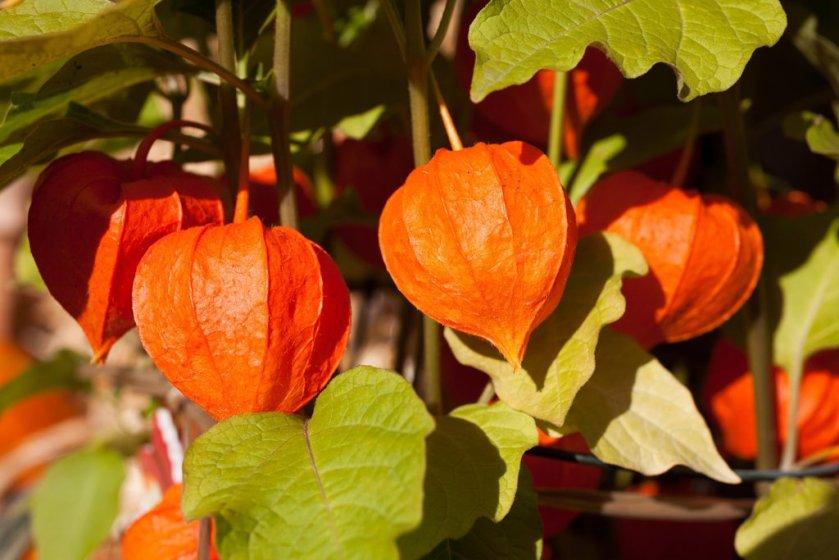 ashwagandha-plant_1024x